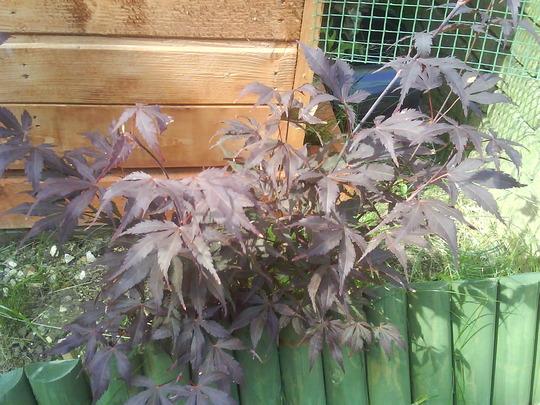 Japanese Acer (Acer palmatum)