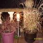 Pennisetum 'fireworks' & 'sambas'