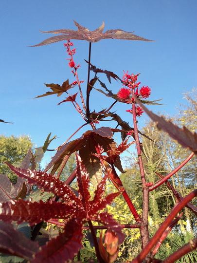 Glittering (Ricinus communis (Castor oil plant))