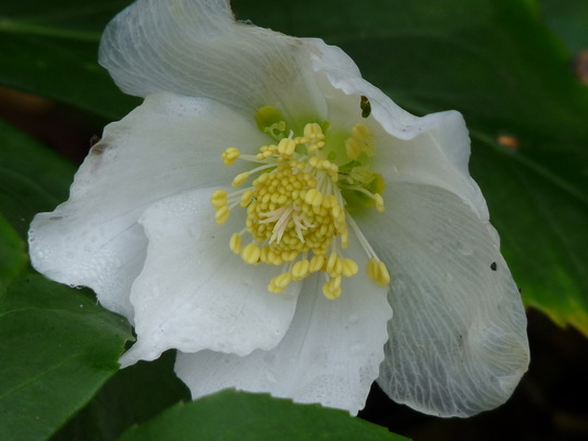 Christmas Rose  Helleborus niger (Helleborus niger (Christmas rose))