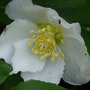 Christmas Rose  Helleborus niger (Helleborus niger (Christmas rose))