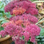 Sedum spectabile in late November (Sedum spectabile (Ice plant))