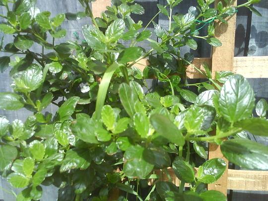 Califonia lilac (Ceanothus burkwoodii (California lilac))