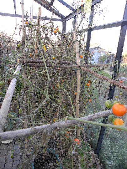 sad looking tomato plants in greenhouse, but still plenty of tomatoes 211111 (Solanum lycopersicum (Tomato))