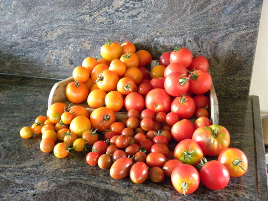 Lots  of tomatoes in summer  -290811 (Solanum lycopersicum (Tomato))
