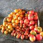 Tomaten_jaune_flamm_e_sungold_elite_sweet_million_moruno_met_puntje_en_ailsa_craig_met_groen_kroontje_290811