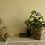 Streptocarpus  -260611