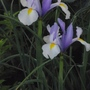 Iris Surprise (Iris xiphium (Dutch Iris))