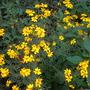 Tagetes lemmonii - Lemmon's Marigold, Shrub Marigold (Tagetes lemmonii - Lemmon's Marigold, Shrub Marigold)