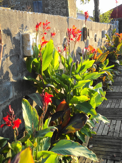 Cannas are still flowering! (Canna indica (Indian shot plant))