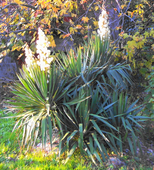Yucca ... (figs in background) (yucca)