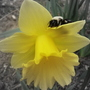 Carpenter Bee Resting
