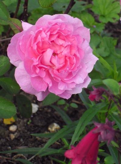 Rosa 'The Mayflower'    (Rose 'The Mayflower')
