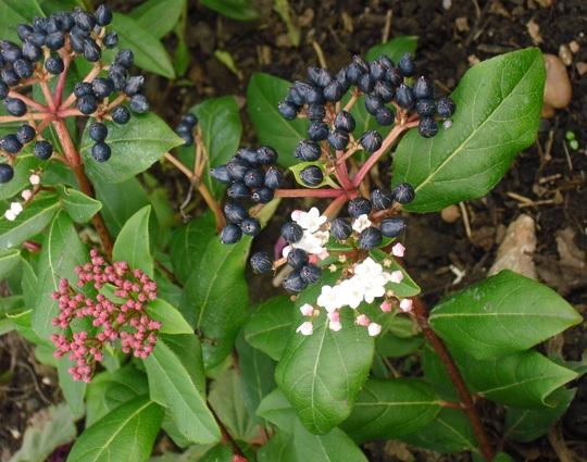 Viburnum tinus 'Gwenllian' (Viburnum tinus (Laurustinus))