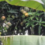 Mango tree (Mangifera indica)