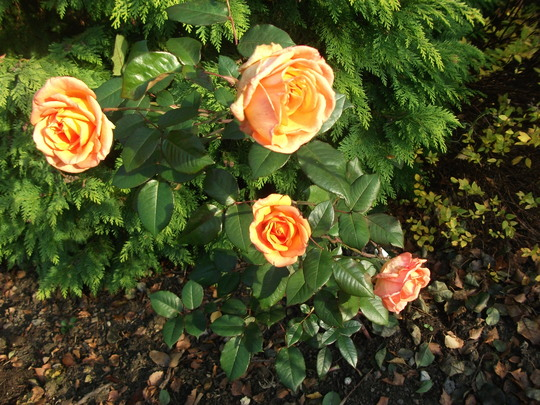 Rose Doris Tysterman still flowering (Rose Doris Tysterman)