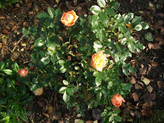 Rose Sweet dreams Floribunda atill flowering  (Rose Sweet Dreams floribunda)