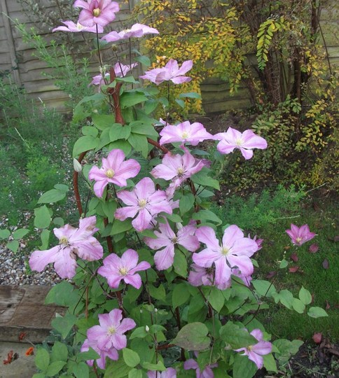 Clematis 'Comtesse de Bouchaud' just goes on and on and o----