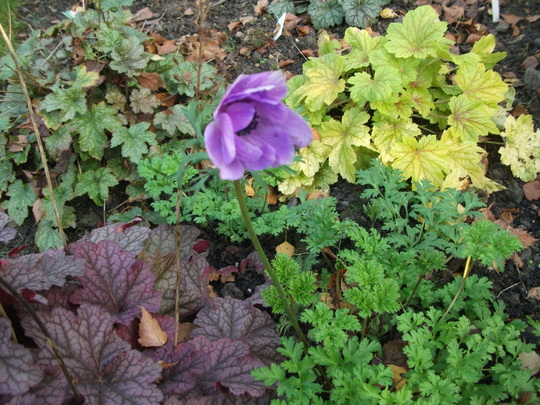 Anemone St Brigid flower - I only planted these in September in this new bed   (Anemone St Brigid)