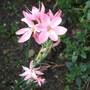 Schizostylis or 'Kaffir Lily' 'Fenland Daybreak'  (Schizostylis coccinea (Kaffir Lily))