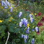 Aconitum x cammarum (Monkshood)