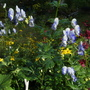Monkshood, Aconitum bicolor, again, I love it. (Aconitum x cammarum (Monkshood))