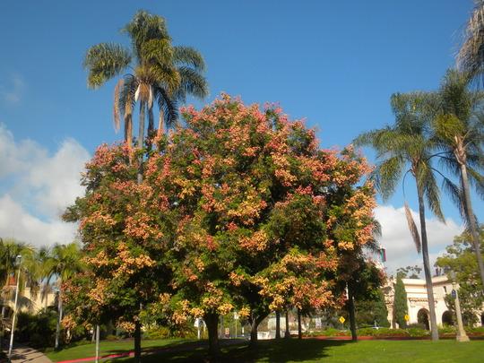 Koelreuteria elegans- Goldenrain Tree, Flame Tree (Koelreuteria elegans- Goldenrain Tree, Flame Tree)