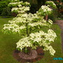 Cornus