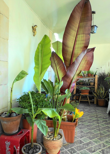 Red Abyssinian Banana and others (Ensete Maurelii)