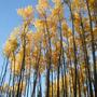 Autumn, Quacking Aspen (Populus tremuloides (American Aspen))