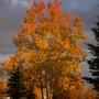 Autumn, Balsam Poplar (Populus balsamifera (Balsam Poplar))