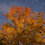 Balsam Poplar, Closer (Populus balsamifera (Balsam Poplar))