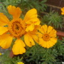 single marigolds