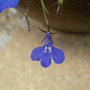 Lobelia (Lobelia Erinus &#x27;Crystal Palace&#x27;)