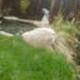 bunny tail (Lagurus ovatus (Bunny Tails Grass))