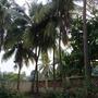 Cocos nociferas (Cocos nociferas)