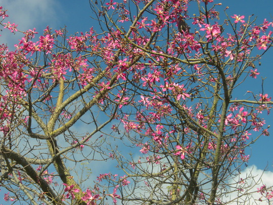 Ceiba speciosa (fka: Chorisia speciosa) - Kapok, Floss-Silk Tree (Ceiba speciosa (fka: Chorisia speciosa) - Kapok, Floss-Silk Tree)