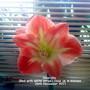 Amaryllis Red with white stripe close up in kitchen 26-11-2011 002 (Amaryllis)