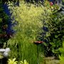 Deschampsia_grass