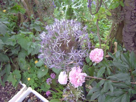 """Allium Christophii with Paeony Rose Sarah Bernhart (Allium albopilosum """"Christophii"""")"""