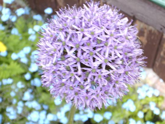 Allium giganteum Gladiator  (Allium giganteum Gladiator)