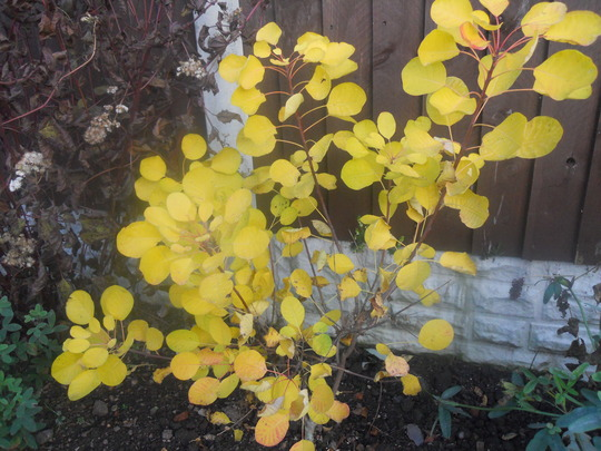 Cotinus Young Lady end November 2011