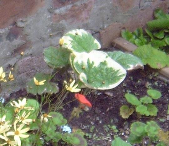 Brunnera Macrophylla Variegata 6.8.11