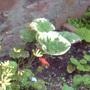 6.8.11_brunnera_macrophylla_2