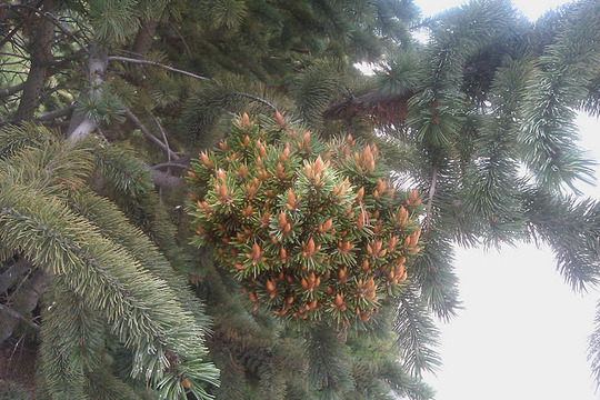 pinus aristata Witchis broom (pinus aristata WB)