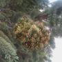 pinus aristata Witchis broom (pinus aristata WB)