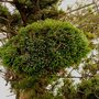 pinus mugo witchis broom  PAPACHA