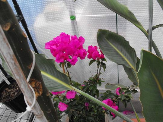 Bourganvillea......still blooming......