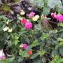 Lantana......both  still flowering well