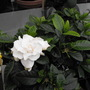 Gardenia...............